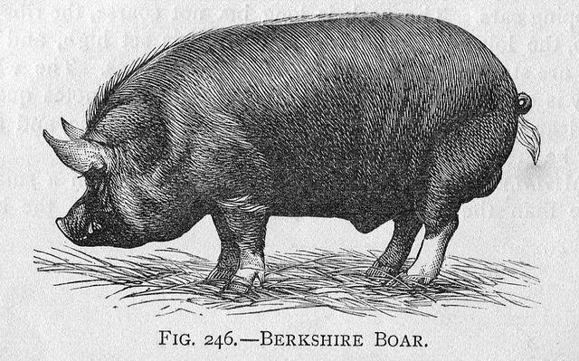 Porc Berkshire